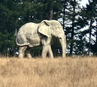 An elephant on Whidbey Island>>
